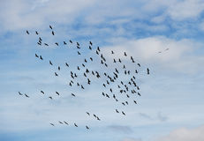 Flock of birds. Stock Photography