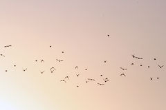 Flock of birds in the sky. A picture of a flock of birds, flying in the sky stock photography
