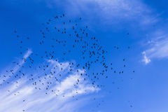 Flock of birds in the sky, clouds, a sunny day Royalty Free Stock Photo