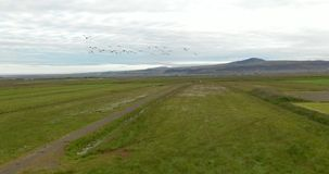 Flock of birds in the sky. Flock of cormorant shag birds flying over green field in summer in Iceland. Migratory waterfowl fly to the drone camera on their way stock video