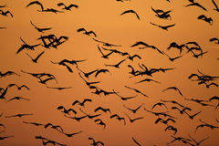 Flock of birds on the sky Royalty Free Stock Photography