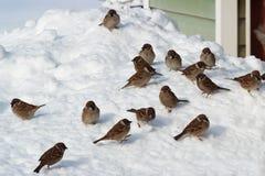 Flock of birds on snow Stock Photography