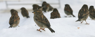 A flock of birds sparrows sitting on snow in winter. A flock of small birds sitting in the snow in the winter. It is the sparrows. They`re cold and looking for Royalty Free Stock Photography