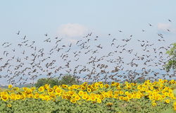 flock of birds and sunflower Royalty Free Stock Photos