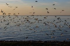 A flock of birds at sunset on the sea. A flock of birds at sunset to the sea fly Royalty Free Stock Photography