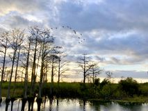 birds flying in swamp at sunset royalty free stock images