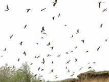 Flock of birds swallows isolated on a white Royalty Free Stock Photos
