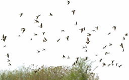 Flock of birds swallows isolated on a white Stock Images