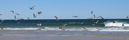 FLOCK OF LOW FLYING SEAGULLS IN GUSTY COASTAL WINDS. A flock of birds takes flight on the windy beach of Island Beach State Park New Jersey Stock Photos