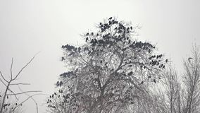 Flock of birds taking off from a tree, a flock of crows black bird dry tree Stock Images