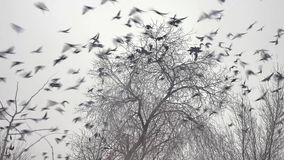 Flock of birds taking off from a tree, a flock of crows black bird dry tree Stock Photos