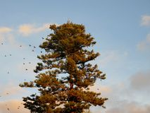 Flock of birds on tree Araucaria. Detail on top of a Araucaria tree with flock of birds Stock Image