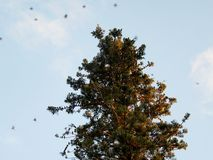 Flock of birds on tree Araucaria Royalty Free Stock Photos