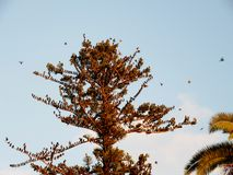 Flock of birds on tree Araucaria. Detail on top of a Araucaria tree with flock of birds Royalty Free Stock Photography