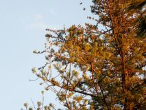 Flock of birds on tree Araucaria. Detail on top of a Araucaria tree with flock of birds Stock Photography