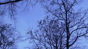 Flock of birds in a tree at dusk stock video