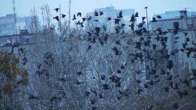Flock Of Birds On The Tree Flying Away. This is a beautiful natural video of Flock Of Birds On The Tree Flying Away (crows)  Full HD...Really nice winter cold stock video footage