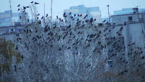Flock Of Birds On The Tree 20s. This is a beautiful natural video of Flock Of Birds On The Tree Flying Away (crows) Full HD...Really nice winter cold time video stock video