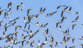 Flock of birds under blue sky Royalty Free Stock Photography