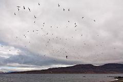 Flock of birds in Vigur island, Iceland Stock Photos