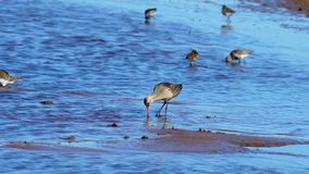 A flock of birds of waders searches for insect larvae and eats them. Birds stick their heads into the water and pick stock video footage