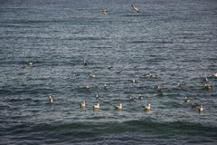 Flock of birds, black ducks, seagulls swimming in the sea, blue water, seascape. Flock of birds in the water of Black sea. Seaguls and ducks, blue water stock photography