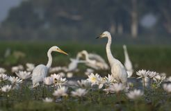 Egret in water lily pond. Flock of birds in water lily pond stock photos