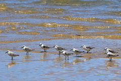 Flock of birds in the water, Portuguese island, Mozambique. Flock of birds in the sea Royalty Free Stock Images