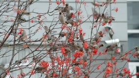 Flock of birds of waxwings stock video