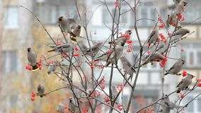 Flock of birds of waxwings. Flock of birds of the waxwings pecking ripe rowan stock video footage