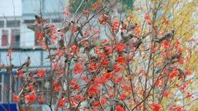 Flock of birds of waxwings stock video footage