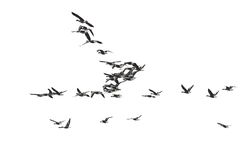 Flock of birds, White-Fronted Goose in flight, isolated on white Royalty Free Stock Photo