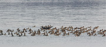 Flock of birds, White-Fronted Goose Royalty Free Stock Photography