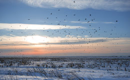 Flock of birds in wintertime. Flock of crows in wintertime Royalty Free Stock Photo