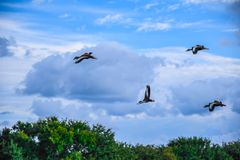 Flock of Black Bellied Whistling Ducks Overhead. Flock of black bellied whistling ducks flying in a soft blue cloudy sky over Florida wetland trees stock image