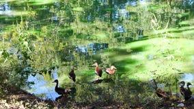 ducks on the shore stock photos