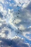 Flock of black birds flying against the sky with clouds Stock Photography
