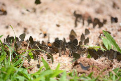 Flock of black butterflies Stock Photo