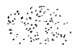 Flock of black crows flying wings spread on a white isolated b. A flock of black crows flying wings spread on a white isolated background Royalty Free Stock Photography