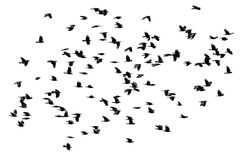 Flock of black crows flying wings spread on a white isolated ba. A flock of black crows flying wings spread on a white isolated background Stock Photos