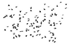 Flock of black crows flying wings spread on a white isolated ba. A flock of black crows flying wings spread on a white isolated background Royalty Free Stock Image