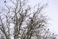 A flock of black crows sits on the branches of acacia stock photography
