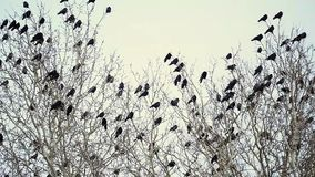 A Flock of Black Crows Sitting on a Tree stock video