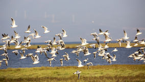 Flock of Black-headed Gull Royalty Free Stock Image