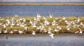 Flock of Black-headed Gull Stock Images
