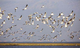 Flock of Black-headed Gull Stock Photography