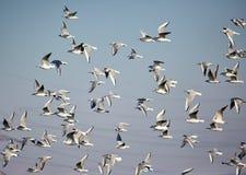 Flock of black headed gulls in flight Stock Image