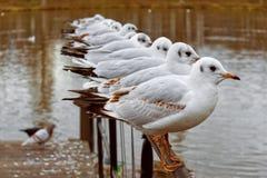 Flock of black-headed gulls royalty free stock image