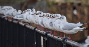 Black Headed Gull line up Royalty Free Stock Image