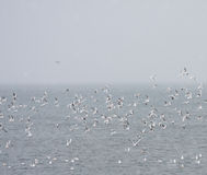 Flock of Black Headed Gulls at sea. In Skjalfandi Bay, Iceland. aka Chroicocephalus ridibundus stock photos